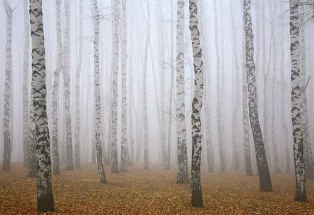 deeply: Deeply mist in autumn birch forest