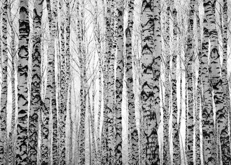 Hiver troncs de bouleaux noir et blanc Banque d'images