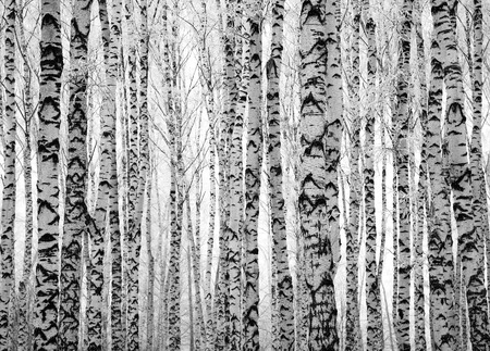 arboleda: Invierno Troncos de árboles de abedul blanco y negro Foto de archivo