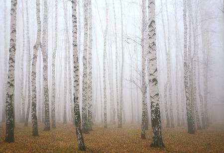 amarillo y negro: Niebla de la ma�ana en el oto�o de bosque de abedules