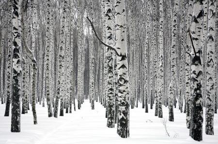 冬の白樺の木