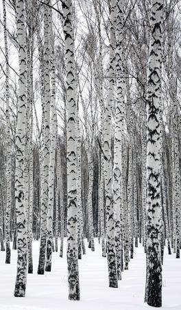 birches: Birches in winter forest