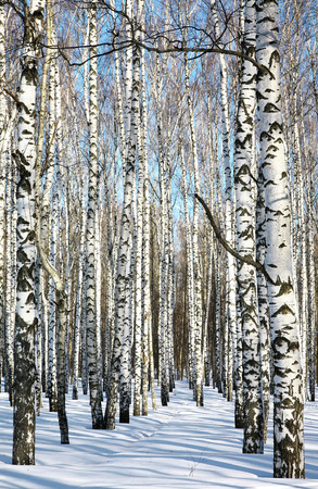 Pathway in winter birch forest on blue sky photo