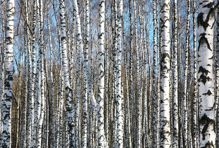 Birches on blue sky