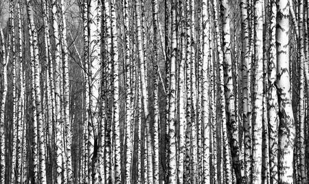 Spring trunks birch trees black and white