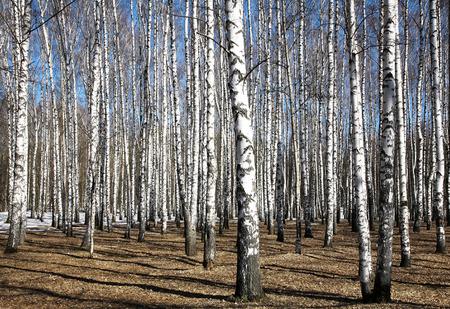 Spring sunny birch grove black and white