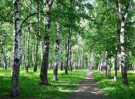 Morning walk in the spring birch city park