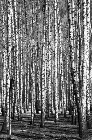arboles blanco y negro: Abedules de primavera blanco y negro