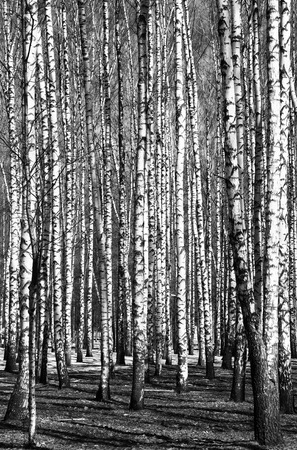 trunks: Spring birch trees black and white