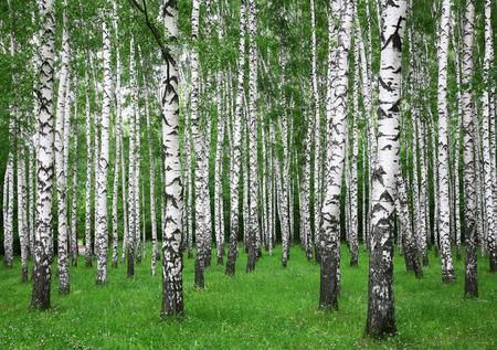 夏の白樺の森