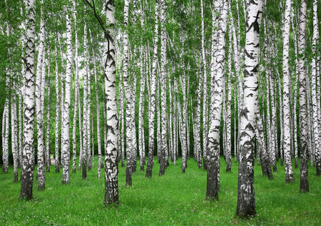 여름 자작 나무 숲 스톡 콘텐츠