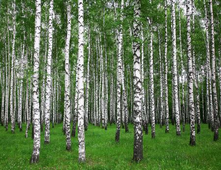 birches: Summer birches