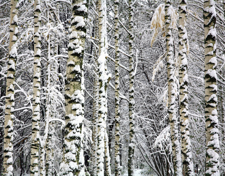 frozen winter: Winter birch trunks background Stock Photo