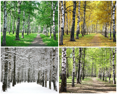 Four seasons of row birch trees