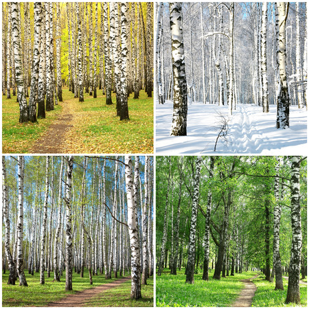 Four seasons collage row of birch trees