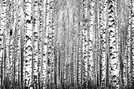 Spring trunks of birch trees black and white Фото со стока