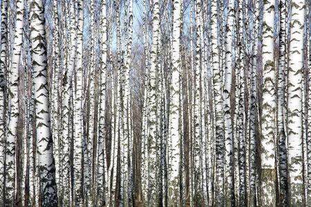 Trunks of birch trees against the spring blue sky Standard-Bild