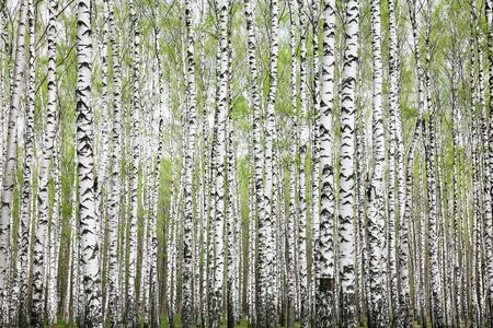 Trunks of birch trees in a spring forest with first greens Standard-Bild