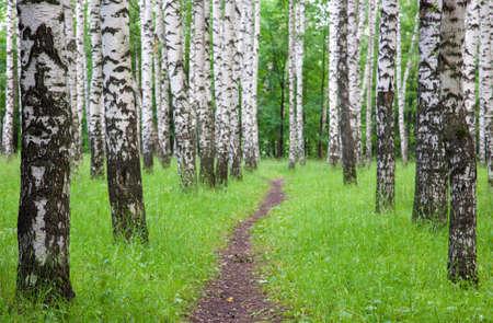 Walking pathway in the summer birch park