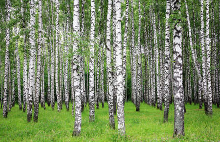 A row of slender snow-white birches in a summer park