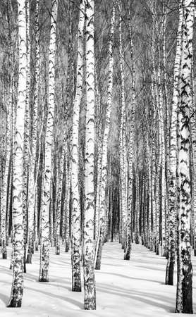 Trunks of birches in a winter forest in sunny weather black and white Standard-Bild
