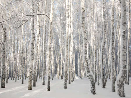 Winter sunny birch forest with snowy trees