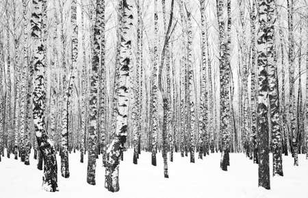 Trunks of birch trees with branches in hoarfrost black and white