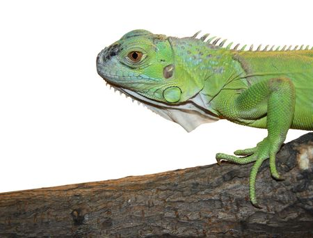 Iguana in white background