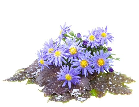 Asters with snowflakes, isolated on a white background Stock Photo