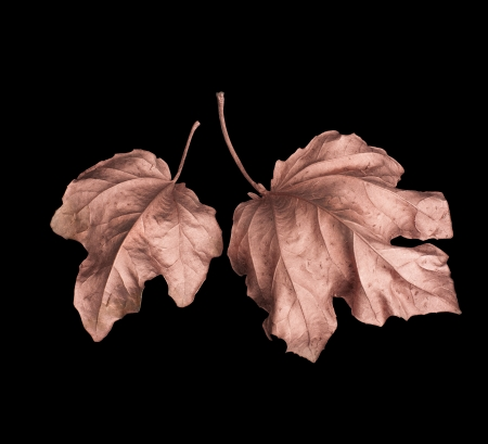 two golden autumn leaves isolated on a black background Stock Photo