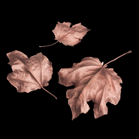 three golden autumn leaves isolated on a black background
