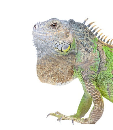 positivismo: Retrato Iguana aislado sobre fondo blanco