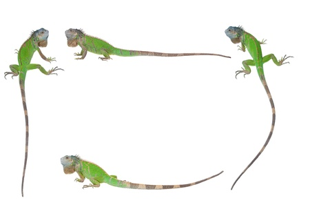 frame of the Iguana, isolated on a white background Stock Photo