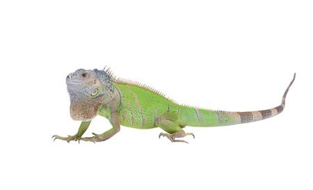 primitivism: Iguana iguana isolated on white background
