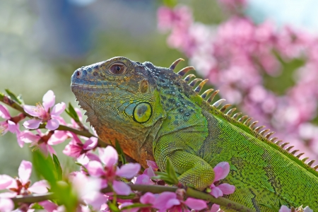 Iguana at walk on the flowering peach tree Stock Photo