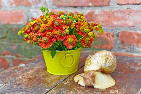 Bouquet of red flowers  Helenium  and giant snail  Achatina Retitsulata  on the old background