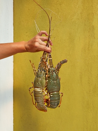 Female hand holding two lobsters. Stock Photo