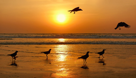 Silhouettes of birds on sunset. Goa, India.