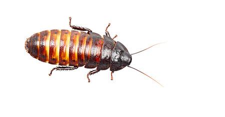 hissing: Madagascar scarafaggio sibilante isolato su sfondo bianco Archivio Fotografico