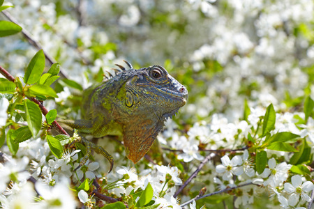 Iguana watching the surroundings of the branches of cherry blossoms Stock Photo