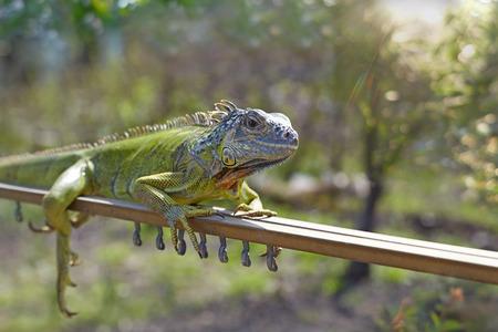 basking: An iguana basking in the morning sun.