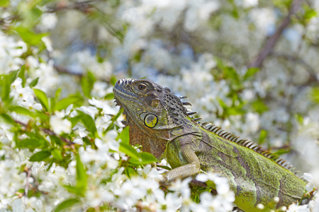 Green iguana against a background of flowering thickets.