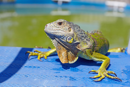 Green iguana resting by the pool