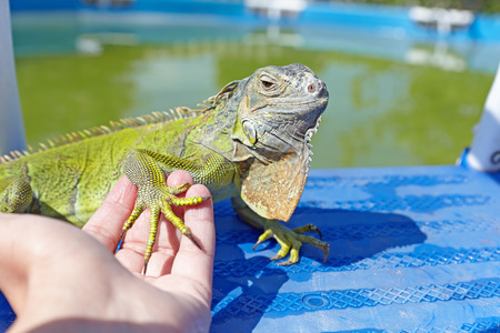 Female hand holding an iguana for foot near the pool