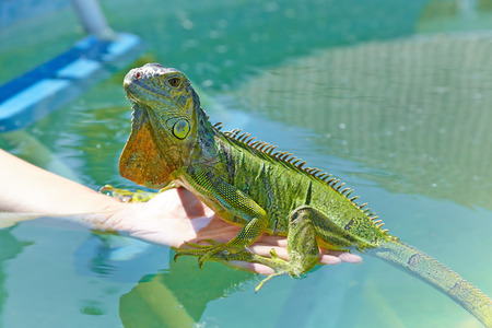 dragon swim: Iguana sits on a female hand in the pool. It gets used to the water temperature.