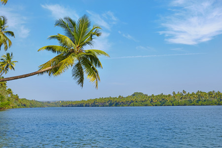 bent over: Tropical river landscape. Palm trees bent over water. Chapora, Goa, India
