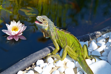 cool off: Iguana sits on the bank of the pond. It opened her mouth to cool off from the heat. The blooming lotus pond. Stock Photo