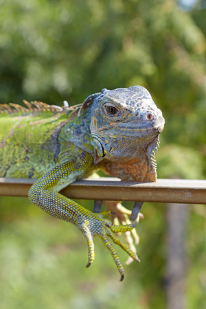 Portrait of green iguana on a background of green garden Stock Photo