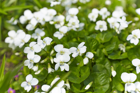 White garden violet on a background of green Stock Photo