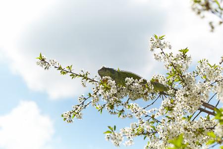 Green iguana among the blossom cherry tree